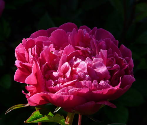 Produktbild Paeonia lactiflora 'Felix Crousse'