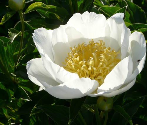 Produktbild Paeonia lactiflora 'Jan van Leeuwen'