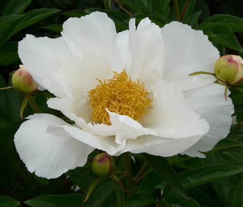 Produktbild Paeonia lactiflora 'Krinkled White'