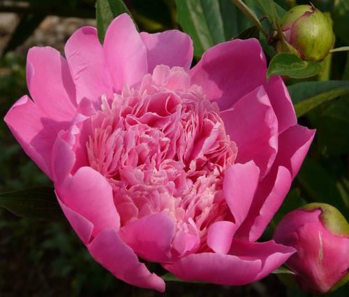Produktbild Paeonia lactiflora 'Madame Furtado'
