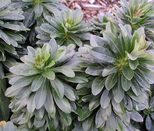 Produktbild Euphorbia amygdaloides ssp. robbiae