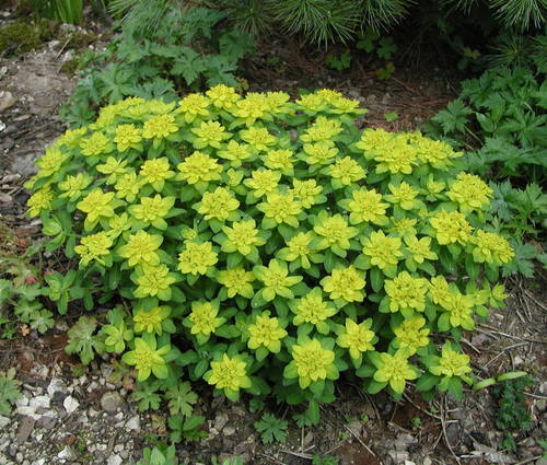 Produktbild Euphorbia polychroma