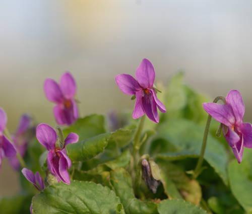Produktbild Viola odorata 'Red Charme'