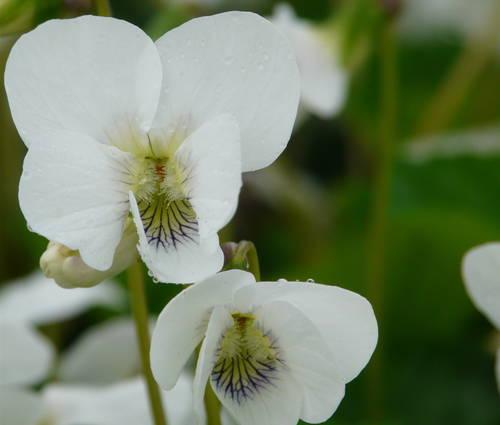 Produktbild Viola sororia 'Albiflora'