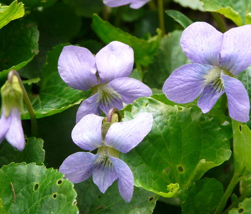Produktbild Viola sororia 'Blue Diamond'