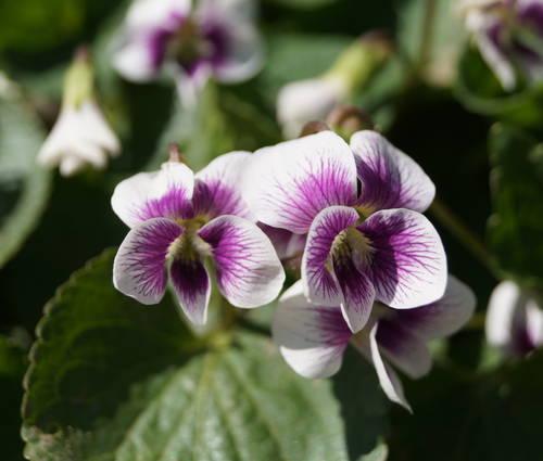 Produktbild Viola Hybride 'Alice Witter'