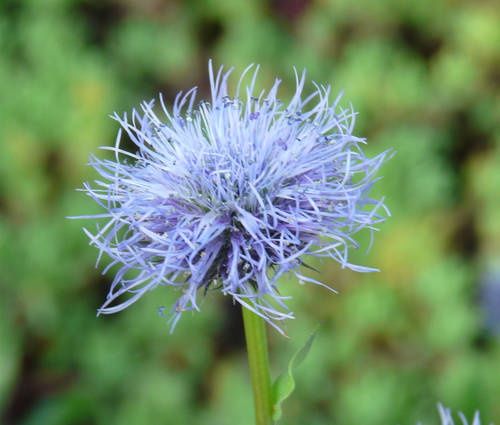 Produktbild Globularia cordifolia