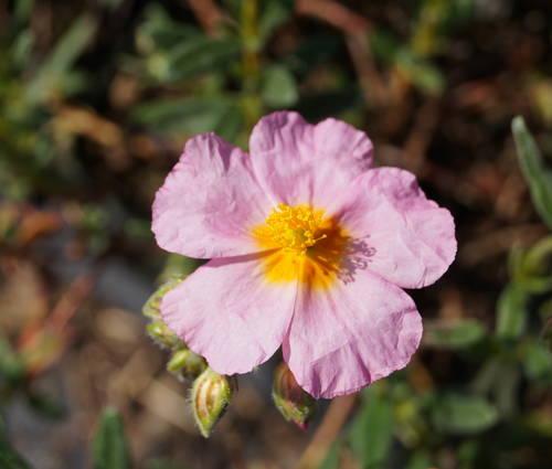 Produktbild Helianthemum Hybride 'Lawrensons Pink'