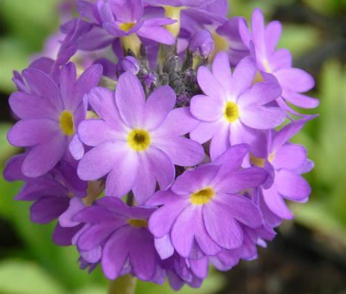 Produktbild Primula denticulata 'Blaue Auslese'