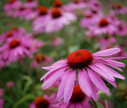 Produktbild Echinacea purpurea 'Magnus Superior'