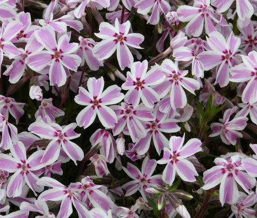 Produktbild Phlox subulata 'Candy Stripes'