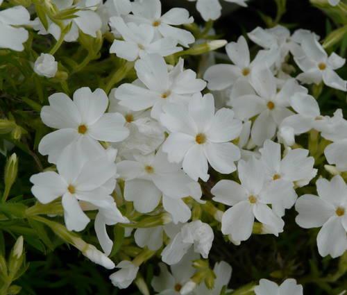 Produktbild Phlox subulata 'White Delight'