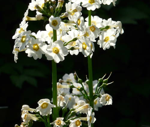 Produktbild Primula japonica 'Alba'