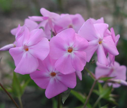 Produktbild Phlox glaberrima ssp. triflora 'Bill Baker'