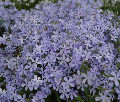 Produktbild Phlox divaricata 'Clouds of Perfume'