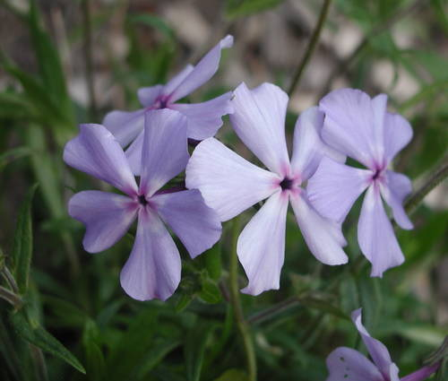 Produktbild Phlox divaricata 'Geddington Cross'