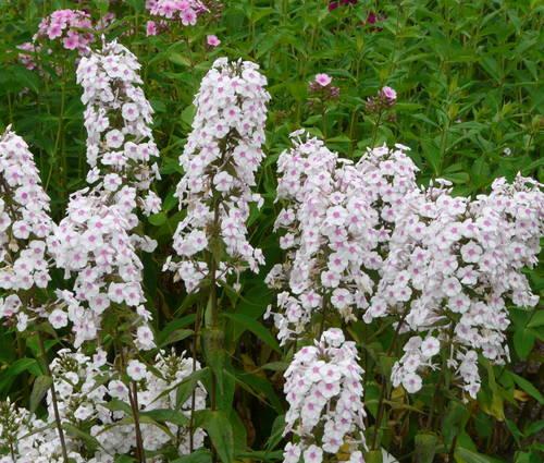 Produktbild Phlox maculata 'Delta'