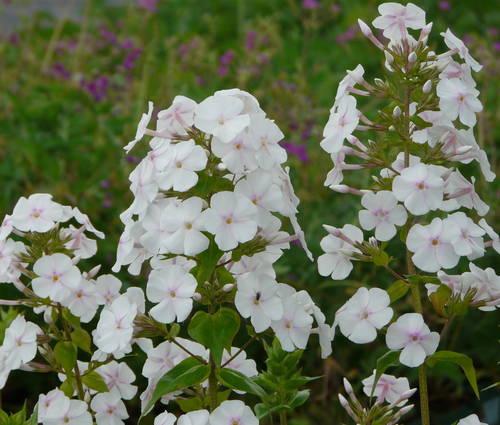 Produktbild Phlox maculata 'Miss Lingard'