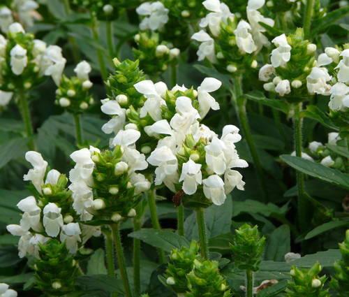 Produktbild Prunella grandiflora 'Alba'