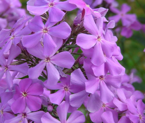 Produktbild Phlox amplifolia 'Great Smoky Mountains'