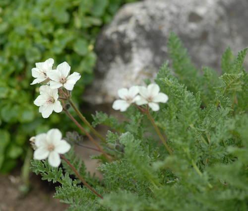 Produktbild Erodium chrysanthum