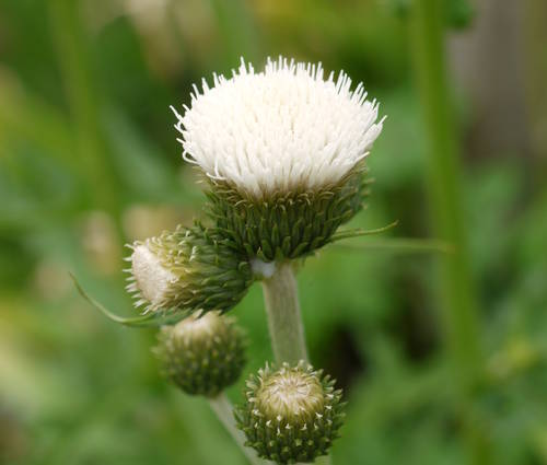 Produktbild Cirsium rivulare 'Frosted Magic'