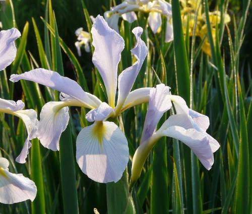 Produktbild Iris Spuria-Hybride 'Hazy Hills'