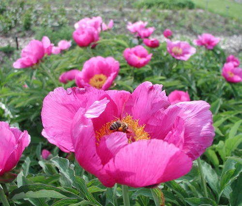 Produktbild Paeonia officinalis 'Wildform'
