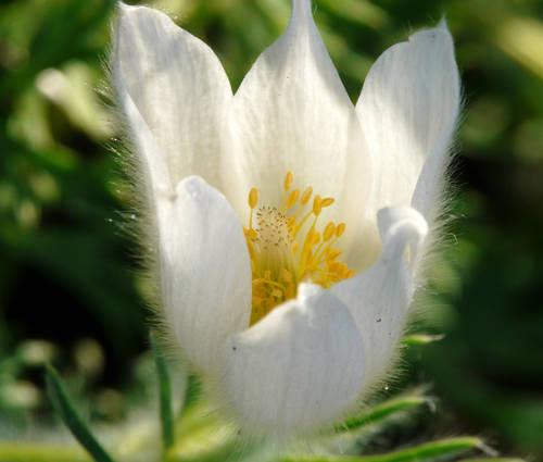 Produktbild Pulsatilla vulgaris 'Alba'