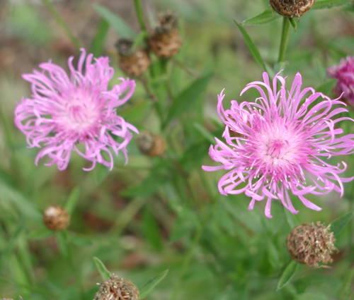 Produktbild Centaurea jacea