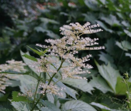 Produktbild Rodgersia podophylla 'Smaragd'