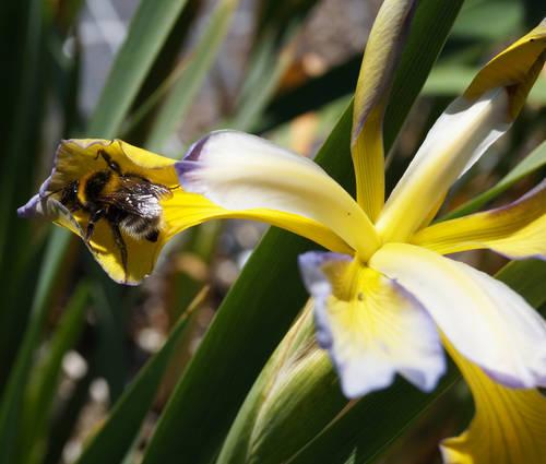Produktbild Iris Spuria-Hybride 'Thrush Song'