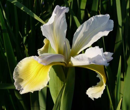 Produktbild Iris Spuria-Hybride 'Dutch Defiance'