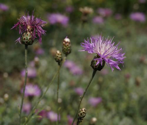 Produktbild Centaurea bella