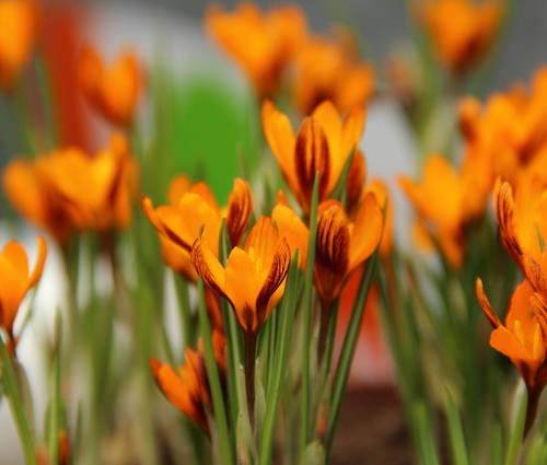 Produktbild Crocus balansae 'Orange Monarch'