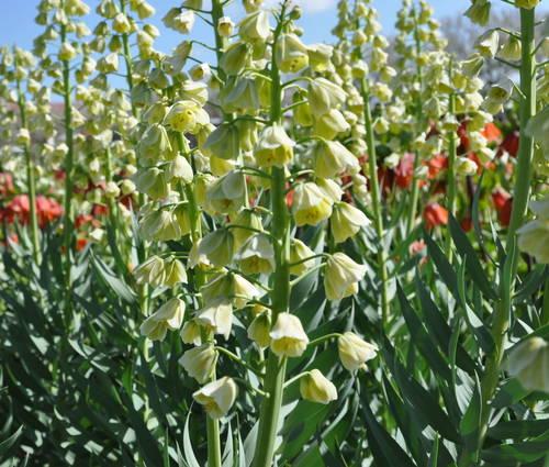 Produktbild Fritillaria persica 'Ivory Bells'