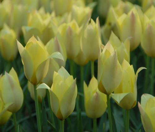 Produktbild Tulipa batalinii 'Honky Tonk'