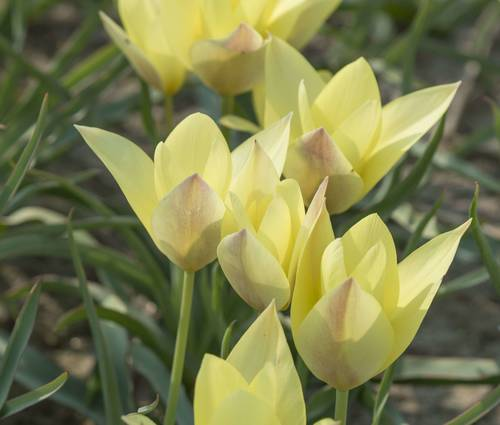 Produktbild Tulipa 'Honky Tonk'