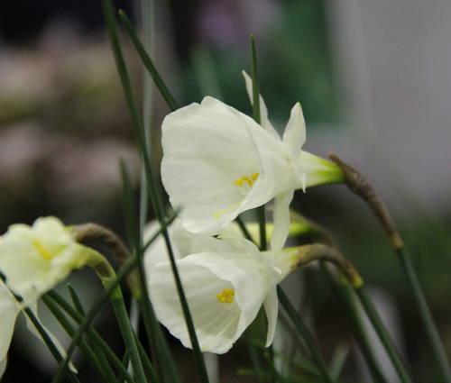 Produktbild Narcissus 'Spoirot'