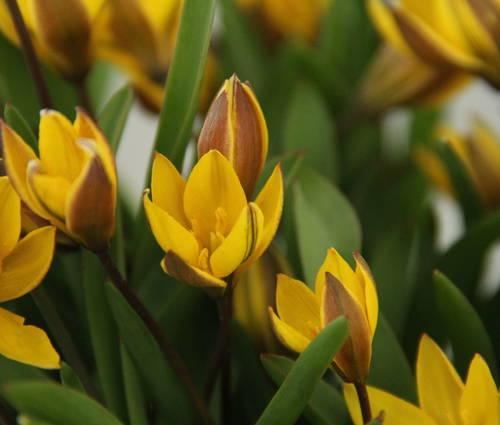 Produktbild Tulipa neustruevae