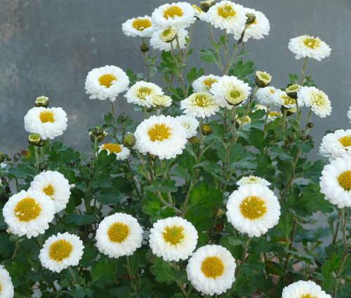 Produktbild Chrysanthemum Indicum-Hybride 'Camilla'