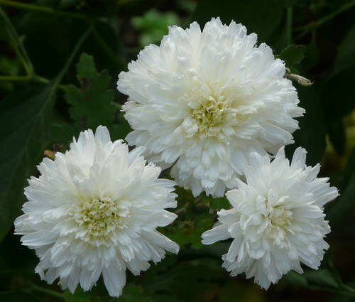 Produktbild Chrysanthemum Indicum-Hybride 'Weiße Nebelrose'