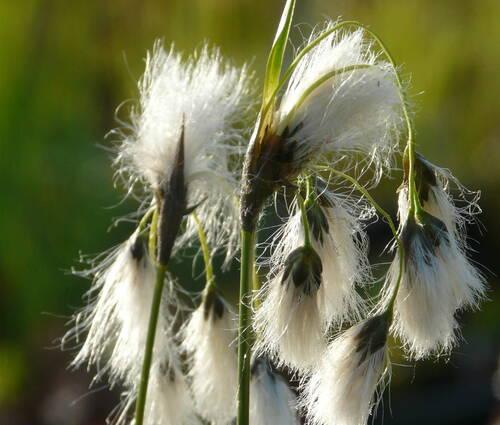 Produktbild Eriophorum latifolium