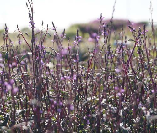 Produktbild Verbena officinalis var. grandiflora 'Bampton'