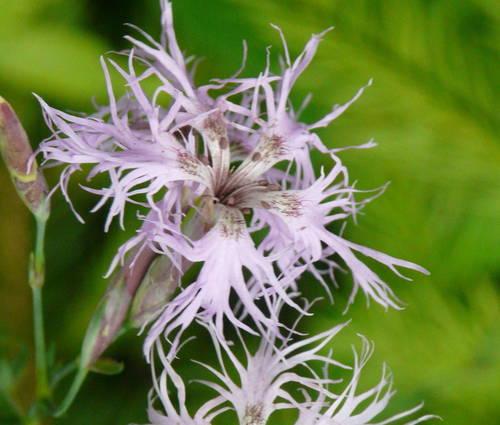Produktbild Dianthus superbus