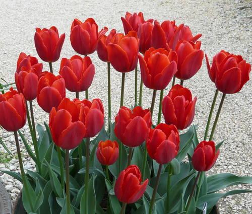 Produktbild Tulipa 'Couleur Cardinal'