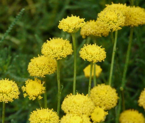 Produktbild Santolina rosmarinifolia ssp. rosmarinifolia
