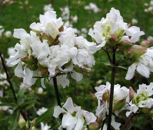 Produktbild Saponaria officinalis 'Alba Plena'