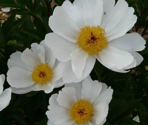 Produktbild Paeonia lactiflora 'Shorty'