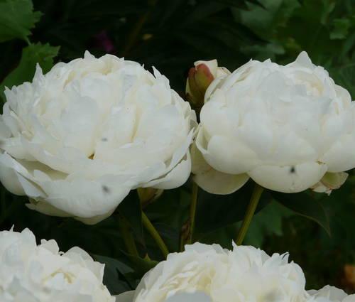 Produktbild Paeonia lactiflora 'Elsa Sass'